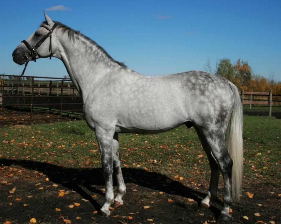 Quidam Blue: Stallion at Stud at Equitop Farm