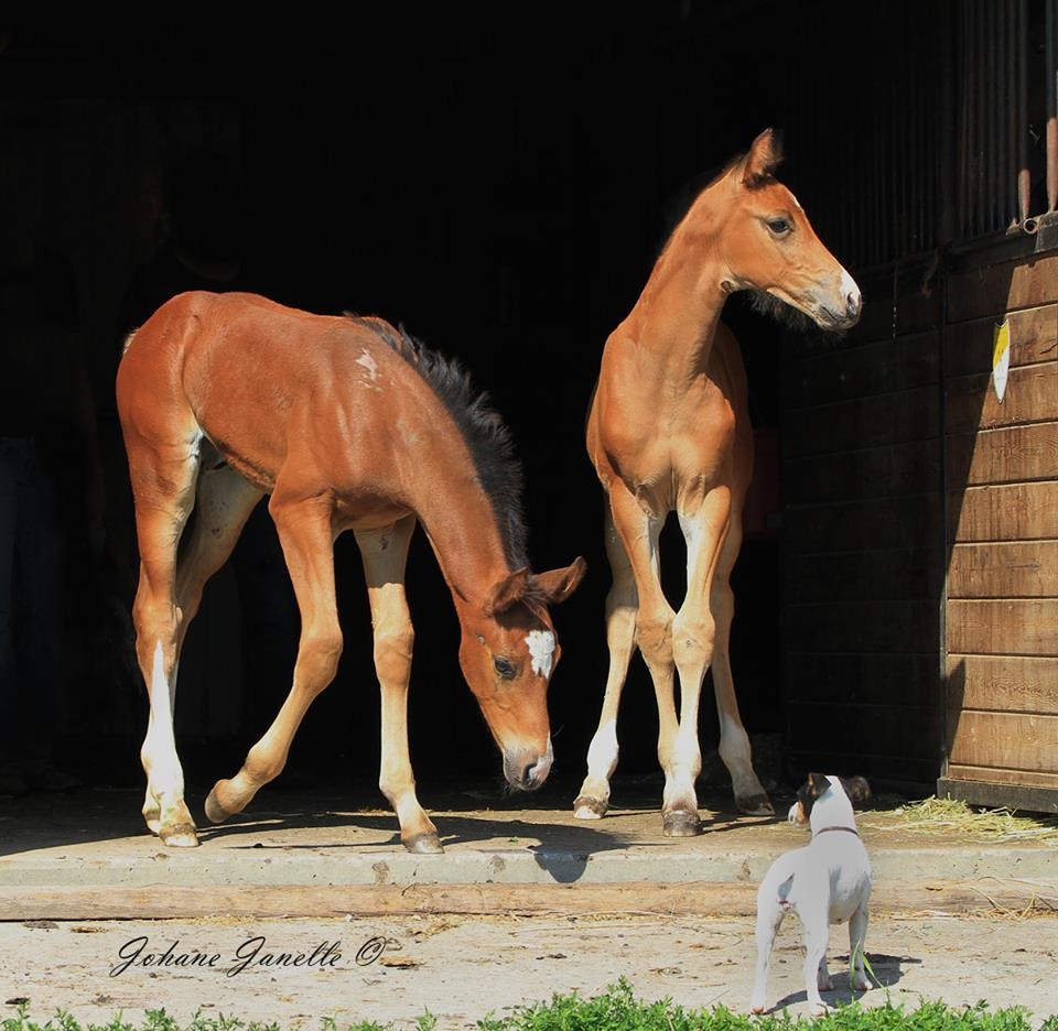 Young foals at Equitop Farm (Two)