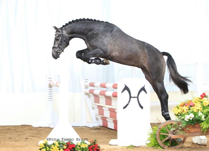 Casparo at Hanoverian Stallion Licensing, Free Jump Phase (One)
