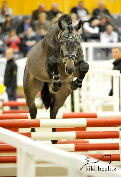 Casparo at Hanoverian Stallion Licensing, Free Jump Phase (Two)